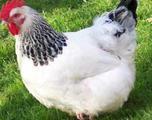 Цыплята